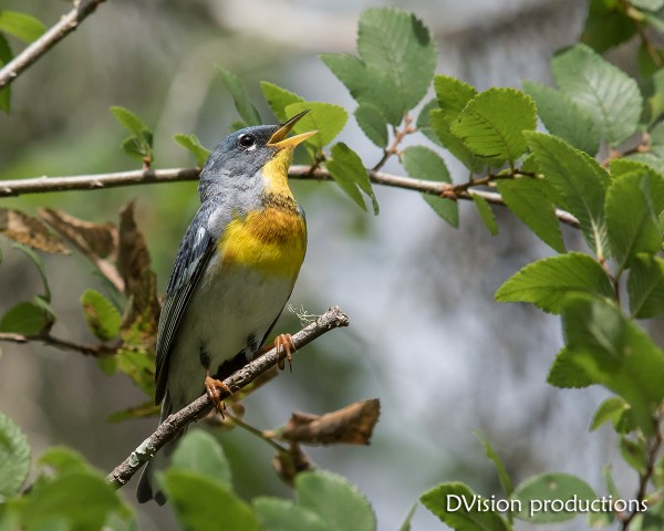 Northern Parula singing for the ladies.  Brazos Bend SP, TX, 4/17