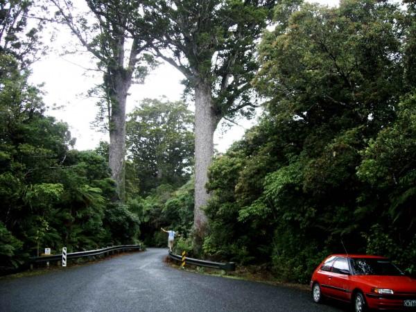 here's some more kauri