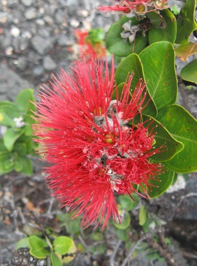 Ohi'a Lehua blossom. Ohi'a is the most common native tree in Hawaii an...
