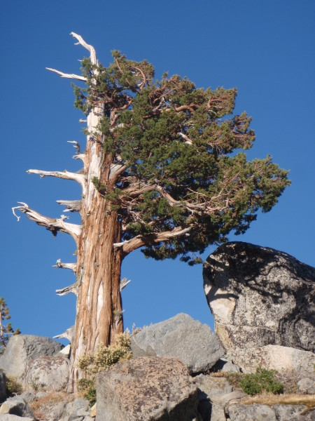 The iconic mountain sentinel, the western juniper