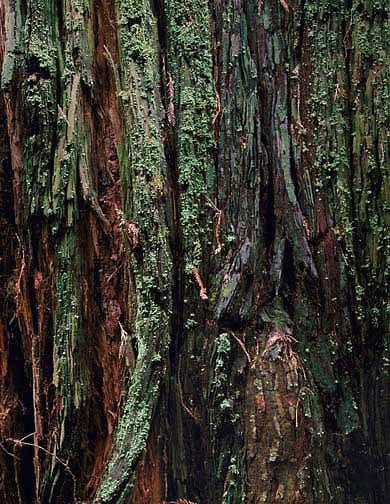 Redwood Detail