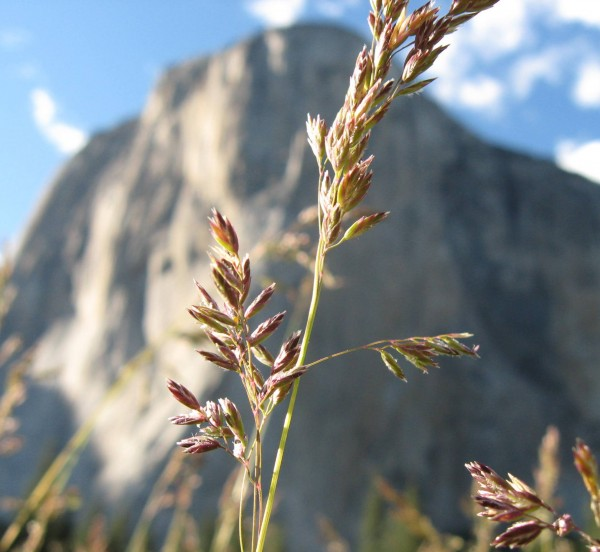 Spring flower in El Cap Meadow.
