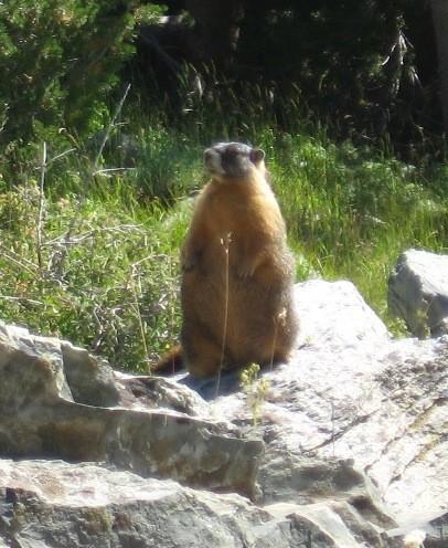 Marmot resident, timberline, Mt. Dana.