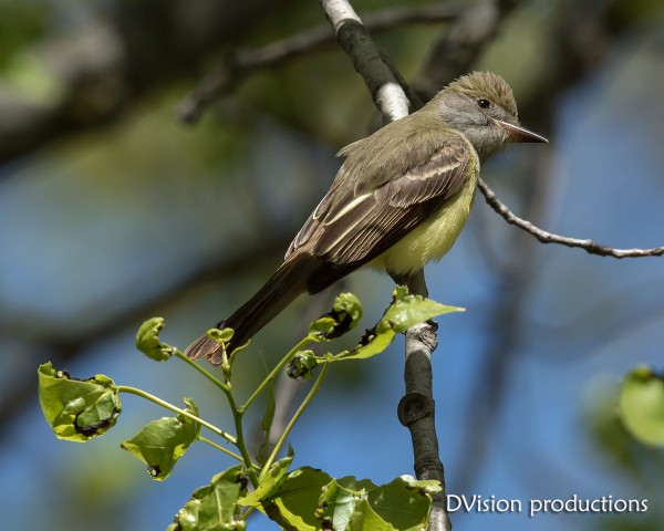 Brown crested Flycatcher, Ohio