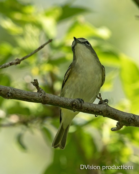 Blue-headed Vireo, TX (tough lighting/poor shot, but my only view ...