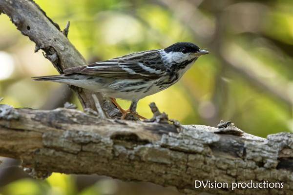 Blackpoll Warbler, Ohio