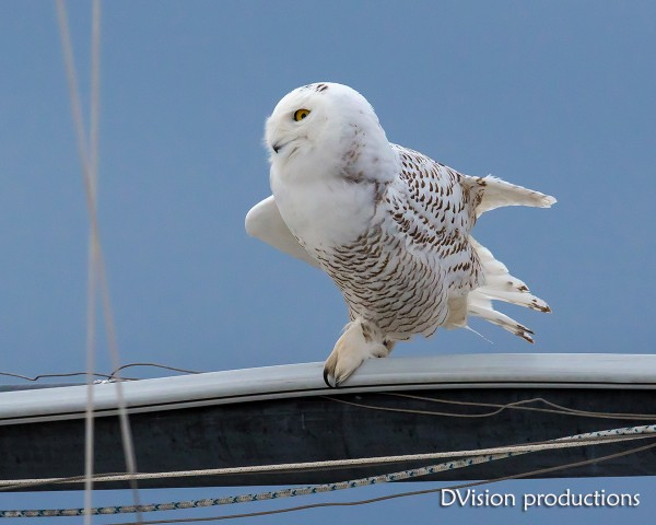 Snowy Owl, Boulder CO, a couple of months ago