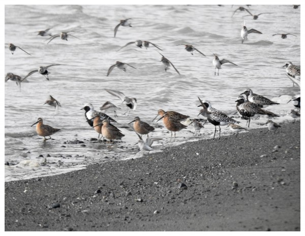 dowitchers, plovers and peeps