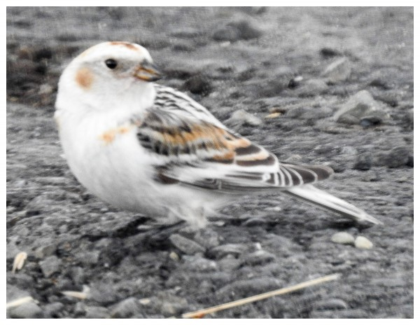 late in the year snow bunting