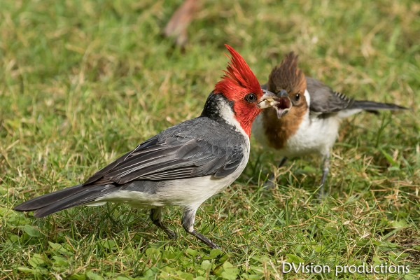 Red-crested Cardinal feeding its young