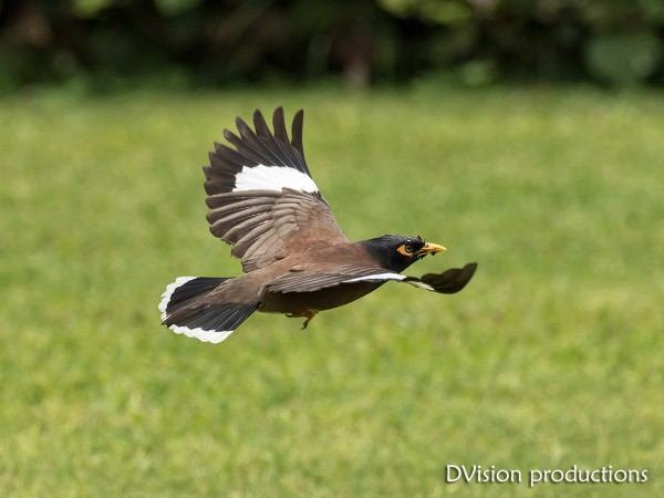 Common Myna in flight