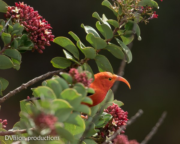 I'iwi or Scarlet Honeycreeper. Awesome bird with a cool song and bill!