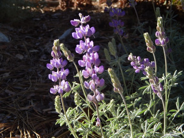 Dwarf Lupine, blooming this morning on the walk up to the base of El C...