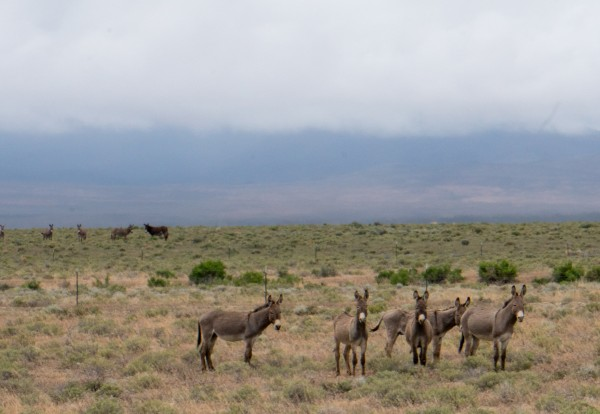 Wild horses, burros and even a Pronghorn Antelop.
