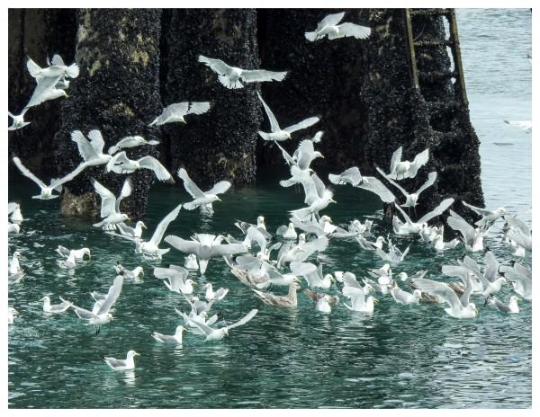 kittiwakes and gulls