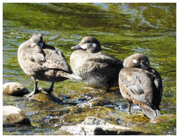 harlequin duck females