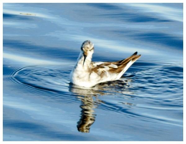 red-necked phalarope non-breeding
