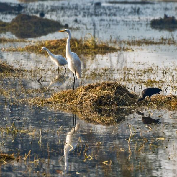 Intermediate Egret + Black Ibis
