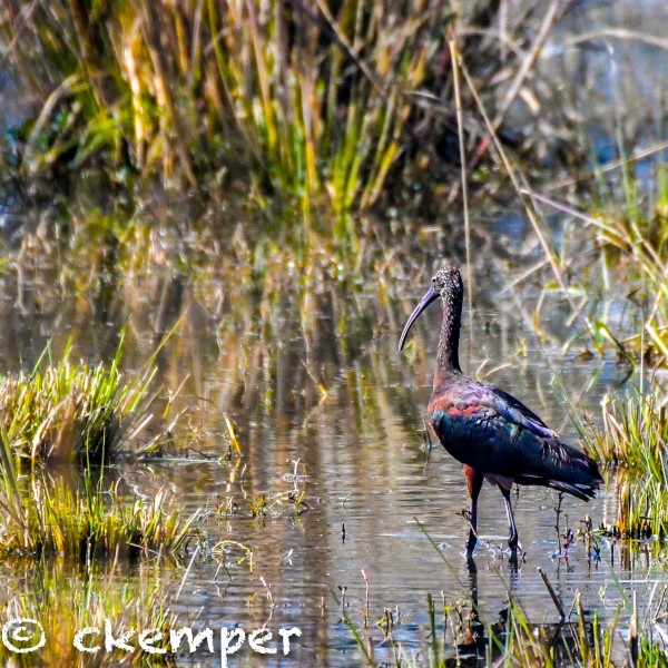 Glossy Ibis, Sultanpur, India
