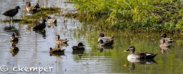 Indian Spot-Billed + Common Teal + Common Moorhen. Sultanpur, India
