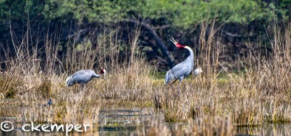 Sarus Cranes. Sultanpur, India