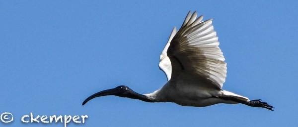 Another Black-Headed Ibis