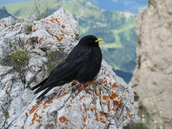 An Alpine Chough, a frequent visitor in the Dolomites