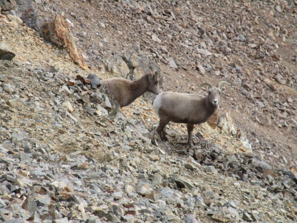 young bighorn lovers near the summit