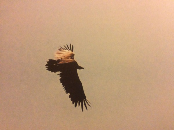 Altai Cinereous Vulture