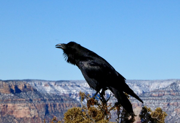 Raven calling on the South Rim