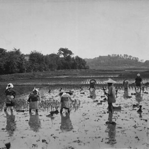 Japanese rice planting in the 1890s