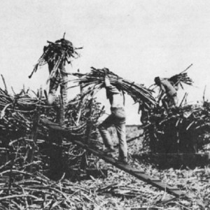 Chinese contract labourers on a Hawaiian sugar cane plantation in the ...