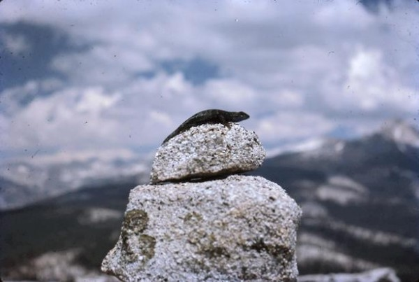 Lizard enjoying the view with us on Starr King's summit.