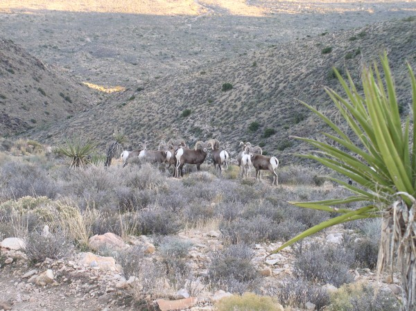 Bighorns on Ryan Mt.