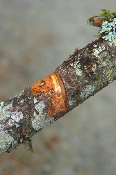 Rope burn on a failed branch. Paul Humphrey.