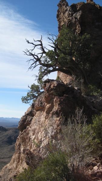 juniper tree, Organ Pipe Cactus Ntl Monument