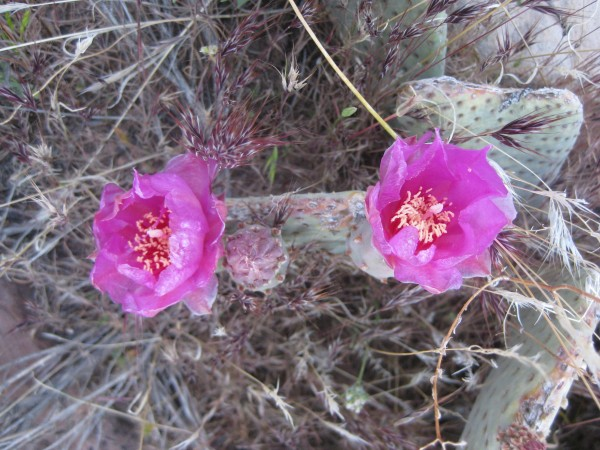 cactus flowers in Red Rocks