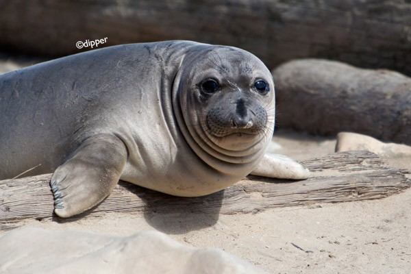 Elephant seal pup - Mirounga angustirostris