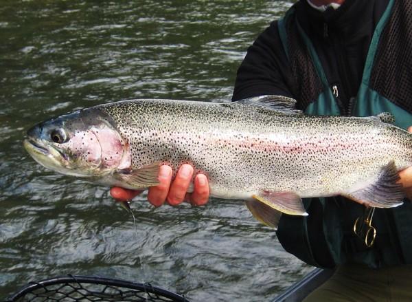 28 inch alaskan rainbow