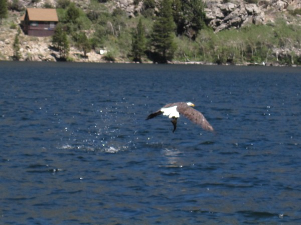 Eagles like fish too. Silver Lake, Eastern Sierra.