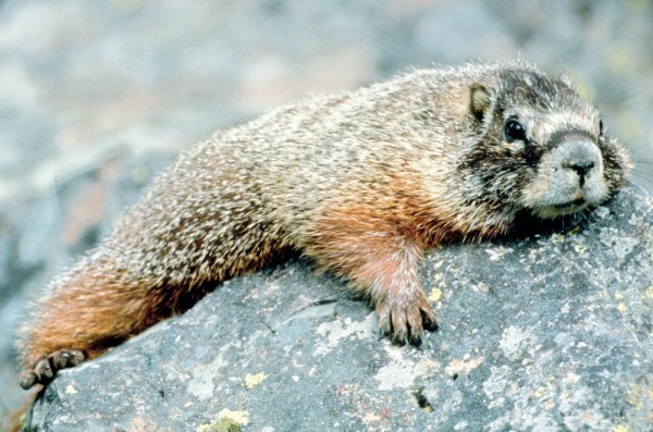 "OT Marmot sez ""All this off topic stuff is wearing me out!"""