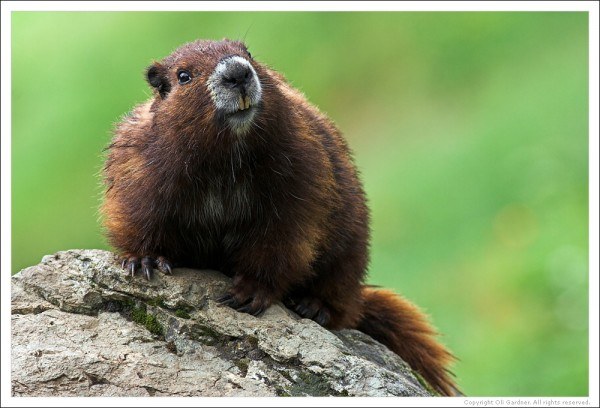 "Vancouver OT Marmot sez ""Get well soon, eh?"""