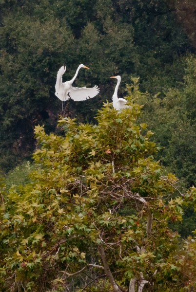 Hey, get outta my tree! (egrets)